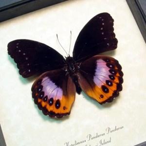 Hypolimnas pandarus Purple Orange