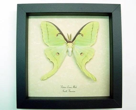 luna-moth-male-real-framed