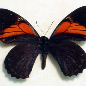 Papilio euterpinus Red Black Butterfly