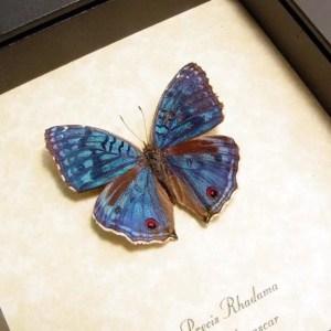 Precis rhadama Male Royal Blue Pansy Butterfly