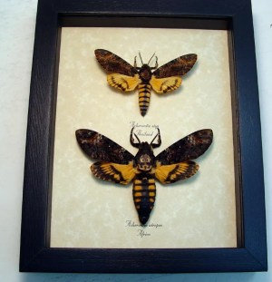 Death Head Moth atrops styx Set