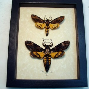 Death Head Moth atrops styx Set