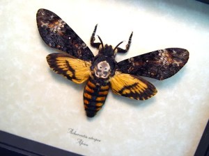 acherontia-atropos-female-african-death-head-moth