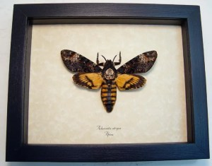 Death's Head Moth Acherontia atropos female