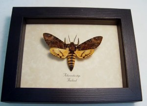 Death Head Moth Acherontia styx Male