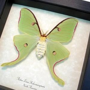 Actias luna rubromarginata Female Luna Moth
