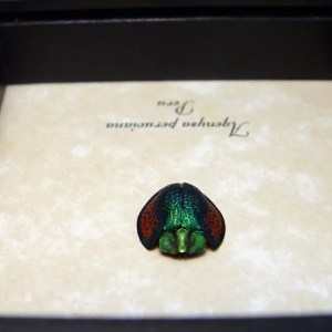 Agenysa peruviana Tortoiseshell Beetle