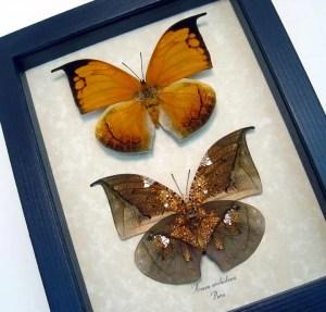 Anaea archidona Pair Leaf Mimic Butterflies
