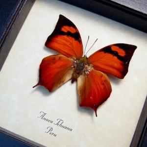Anaea tehuana framed butterfly