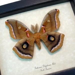 Antheraea polyphemus male Silkmoth