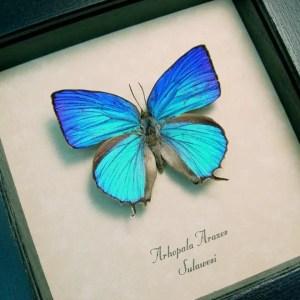 Arhopala araxes Sky Blue Butterfly