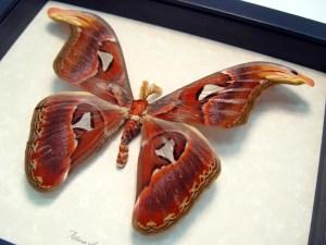 "Attacus Atlas Male Giant Moth Snake Head 5 1/2"""