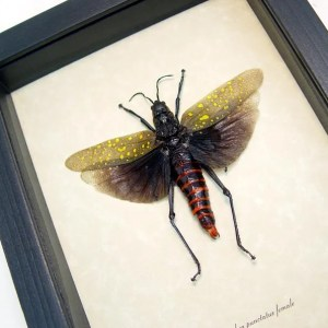 Aularches punctatus female Grasshopper