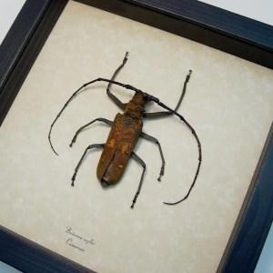 Batocera wyllei Longhorn Beetle