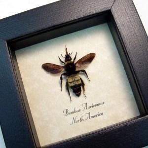 Bombus auricomus Queen BumbleBee Bee