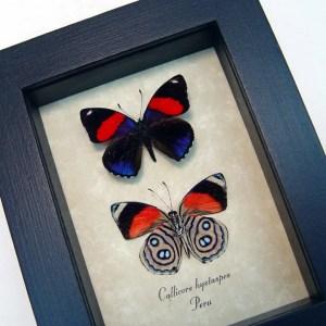 Callicore hystaspes Set Butterflies