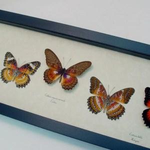 Cethosia Set Leopard Lacewing Butterflies
