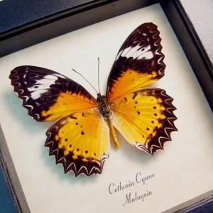 Cethosia cyane Leopard Lacewing Butterfly