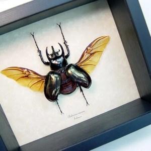 Chalcosoma caucasus Rhino Beetle Flying