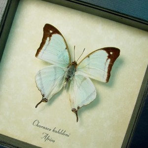 Charaxes kahldeni Mint Green Butterfly