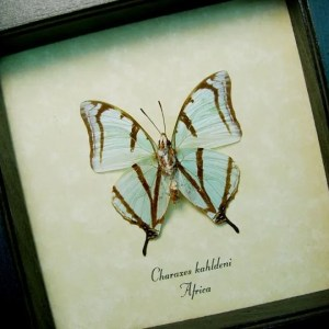 Charaxes kahldeni Verso Mint Green Butterflies