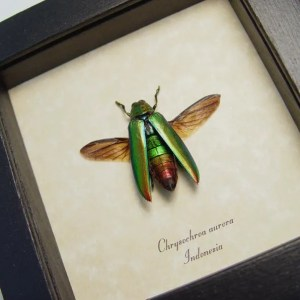 Chrysochroa aurora Gold Flying Beetle