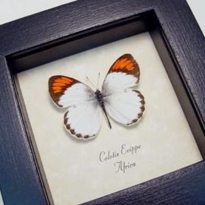 Colotis euippe Orange Tip African