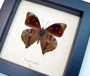 Corades medeba Verso Leaf Mimic