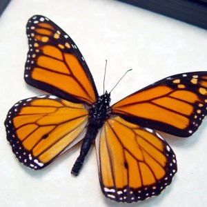 North American Butterflies