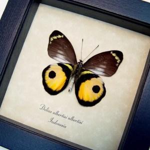 Delias albertisi Inkspot Butterfly