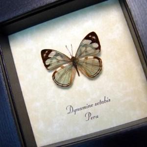 Dynamine setabis Sage Green Butterfly