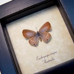 Euchrysops cnejus Female Blue Gram