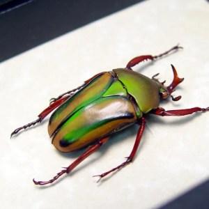 Eudicella gralli male African Beetle