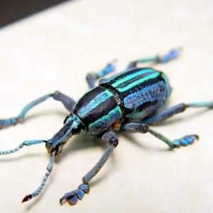 Eupholus bennetti Weevil Blue Green