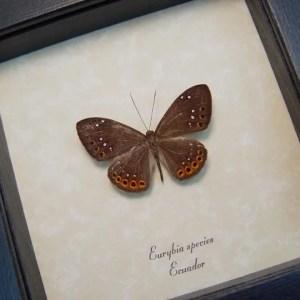 Eurybia species Metalmark Butterfly