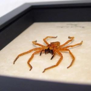 Heteropoda davidbowie David Bowie Spider
