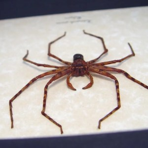 Heteropoda species Huntsman Spider