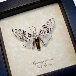 Hypercompe scribonia Leopard Moth