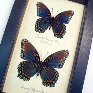 Limenitis Astyanax Pair Verso Butterflies