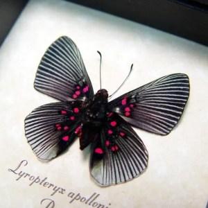 Lyropteryx apollonia verso Metalmark