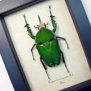 Mecynorrhina torquata Male Green Beetle