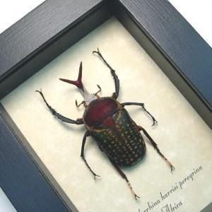 Megalorrhina harrisi peregrina Fork Horned Beetle