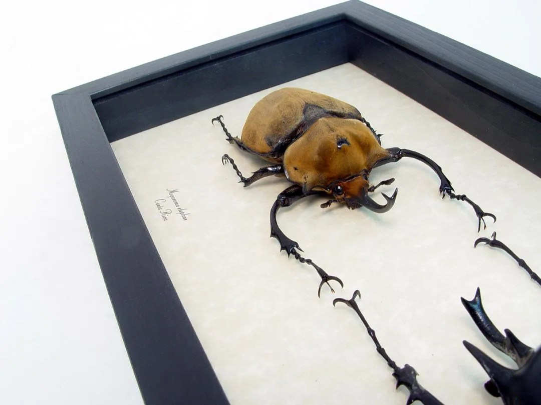 Megasoma elephas - Megasoma acteon - Elephant Wars - Framed Beetles