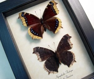 Nymphalis Antiopa Set Mourning Cloak Butterfly
