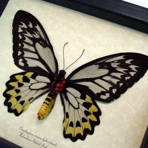 Ornithoptera Croesus Female Verso Golden Birdwing
