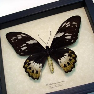Ornithoptera Priamus Female Giant Birdwing