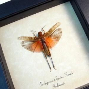 Orthoptera Female Blush Rose Grasshopper