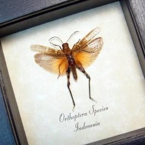 Orthoptera male Blush Rose Grasshopper