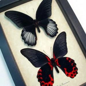 Papilio rumanzovia Pair Scarlet Mormon