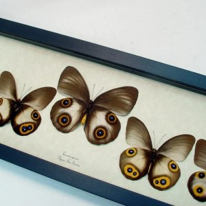 Taenaris Collection Set Silky Owl Butterflies